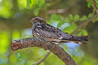 Photo: Common Nighthawk