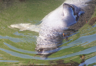 Photo: Chewing on Kelp Underwater