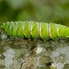 Saturn moth caterpillar