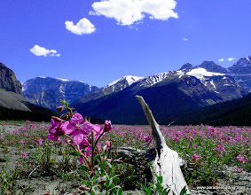 Photo: Fireweed, upper Athabasca River valley, Jasper National Park