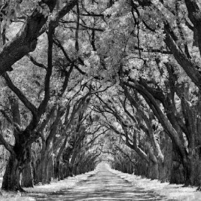 Oak Alley by Donna Neal - Black & White Landscapes (  )