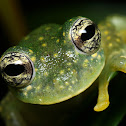 Cascade Glass Frog