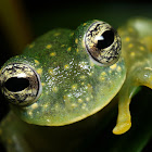 Cascade Glass Frog