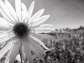 Photo: Black and white photo of a flower in a field at Cox Arboretum and Gardens Metropark in Dayton, Ohio.