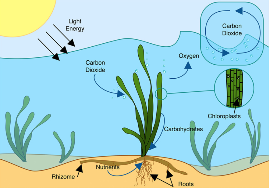infographic—photosynthesis process of seagrass