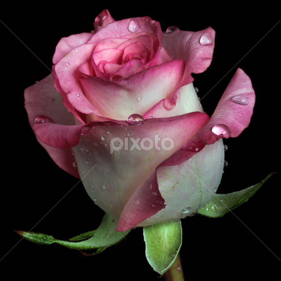 Rose in pink tone by Cristobal Garciaferro Rubio - Nature Up Close Flowers - 2011-2013 ( rose, aroma, rosa, rossa, drop, roses, drops, pink tone, pink, beauty, flowers, flower )
