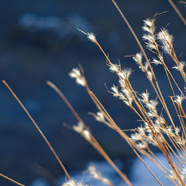 Winter Grass by Dorothy Day - Nature Up Close Leaves & Grasses ( winter, nature, clseup, blue, grass )