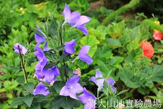 Photo: 拍攝地點: 梅峰-溫帶花卉區 拍攝植物: 桔梗 拍攝日期:2013_07_30_FY