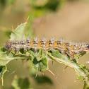 Painted Lady, larva