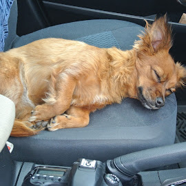 After many hours driving ... by Rose Smith - Animals - Dogs Puppies ( driving, hours, beat, after, many, i'm,  )