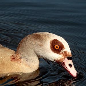 look into my eye goose.JPG