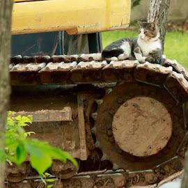 DEMO DASH by Jennifer  Loper  - Animals - Cats Portraits ( cat, track-cat, dash, tabby, front end loader, track )