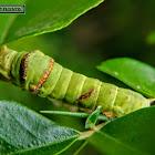 Lime Swallowtail Caterpillar