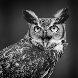 Great Horned Owl by Sandy Scott - Black & White Animals ( owl portrait, birds of prey, predator, animals, nature, avian, black & white, owl, wildlife, raptor, birds, great horned owl, eyes,  )