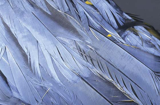 Poor quality rump and tail feathers in a blue and gold macaw fed only seeds and table foods