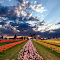 Texas Tulips (Full Res).jpg