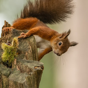Red Squirrel by Barry Smith - Animals Other Mammals
