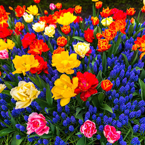 Tulips flowers by Stefan Sorean - Flowers Flower Gardens ( flowers, tulip, flower )