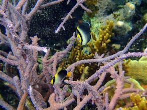 Photo: Chaetodontoplus mesoleucus (Vermiculated Angelfish), Sand Island, Palawan, Philippines.
