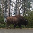 American Bison or American Buffalo