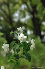 Photo: 一番早く花開き始めるのが「バイカウツギ」。(2014,05,11)