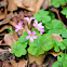 Large-flowered pink-sorrel