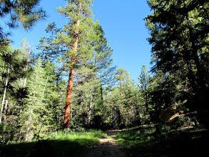 Photo: Large ponderosa pine tree alongside the trail