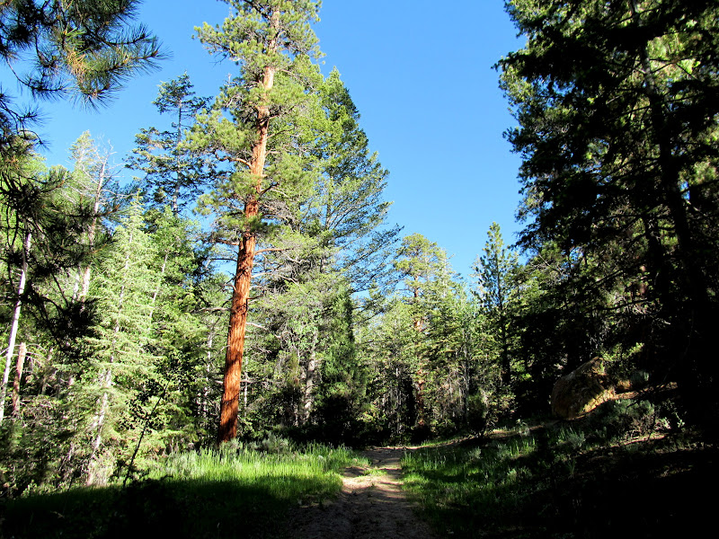 Photo: Large ponderosa pine tree alongside the trail