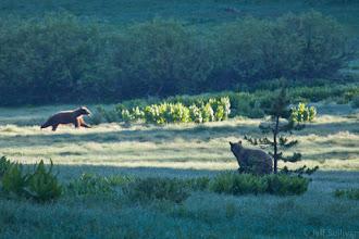Photo: Black Bear Territory Dispute
