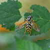 Broken-banded Wasp-hoverfly