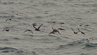 Photo: 46. I believe this is a flock of shearwaters. I am not a serious birder, but I always enjoy learning birds as I see them on trips.
