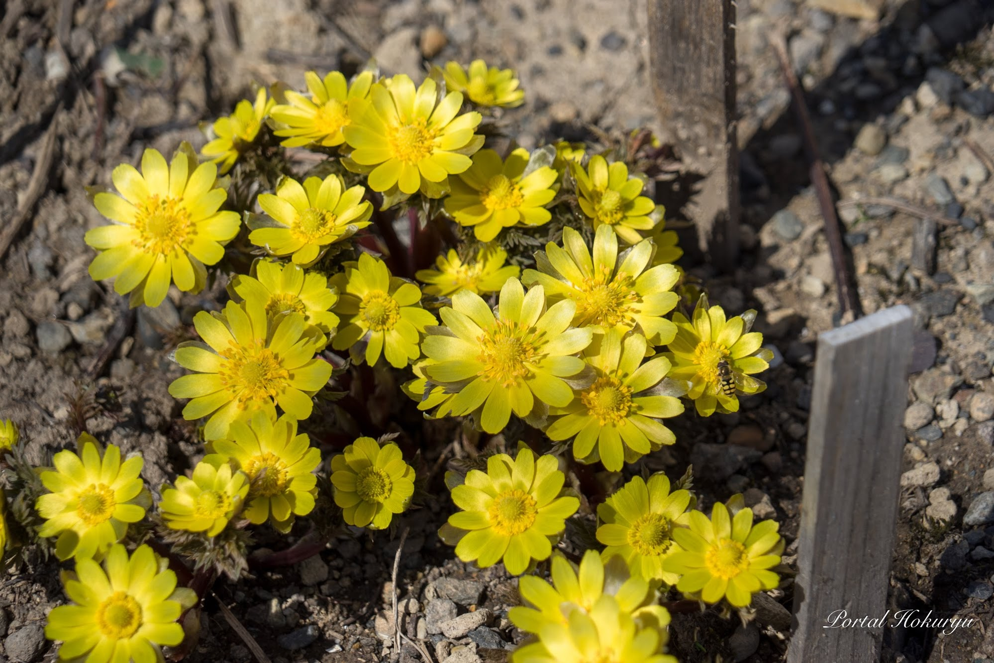 春を告げる花「福寿草」