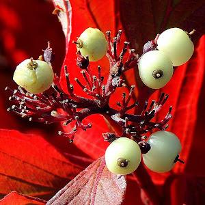 Red Osier Dogwood Berries Close Up.JPG