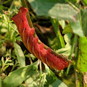 Banded Sphinx Moth Caterpillar (Pink Form)