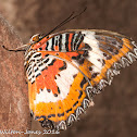 Malay Lacewing