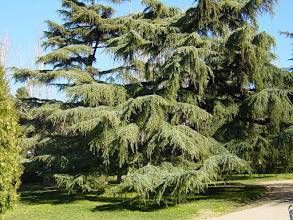 Photo: Ejemplares de cedro en el parque del Oeste (Madrid)