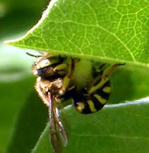 """Photo: """"Anthidie manicatum"""" (abeille solitaire cotonnière) en train de cueillir du duvet pour son nid sous une feuille de cognassier -21.06.2014 - 34° -."""