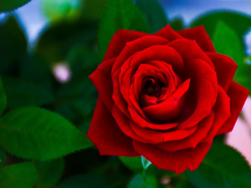 Forever Rose di mary_bassi