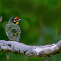 COPPERSMITH BARBET / COPPERSMITH / CRIMSON BREASTED BARBET