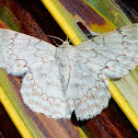 The White Looper Moth or Flower-eating caterpillar Moth