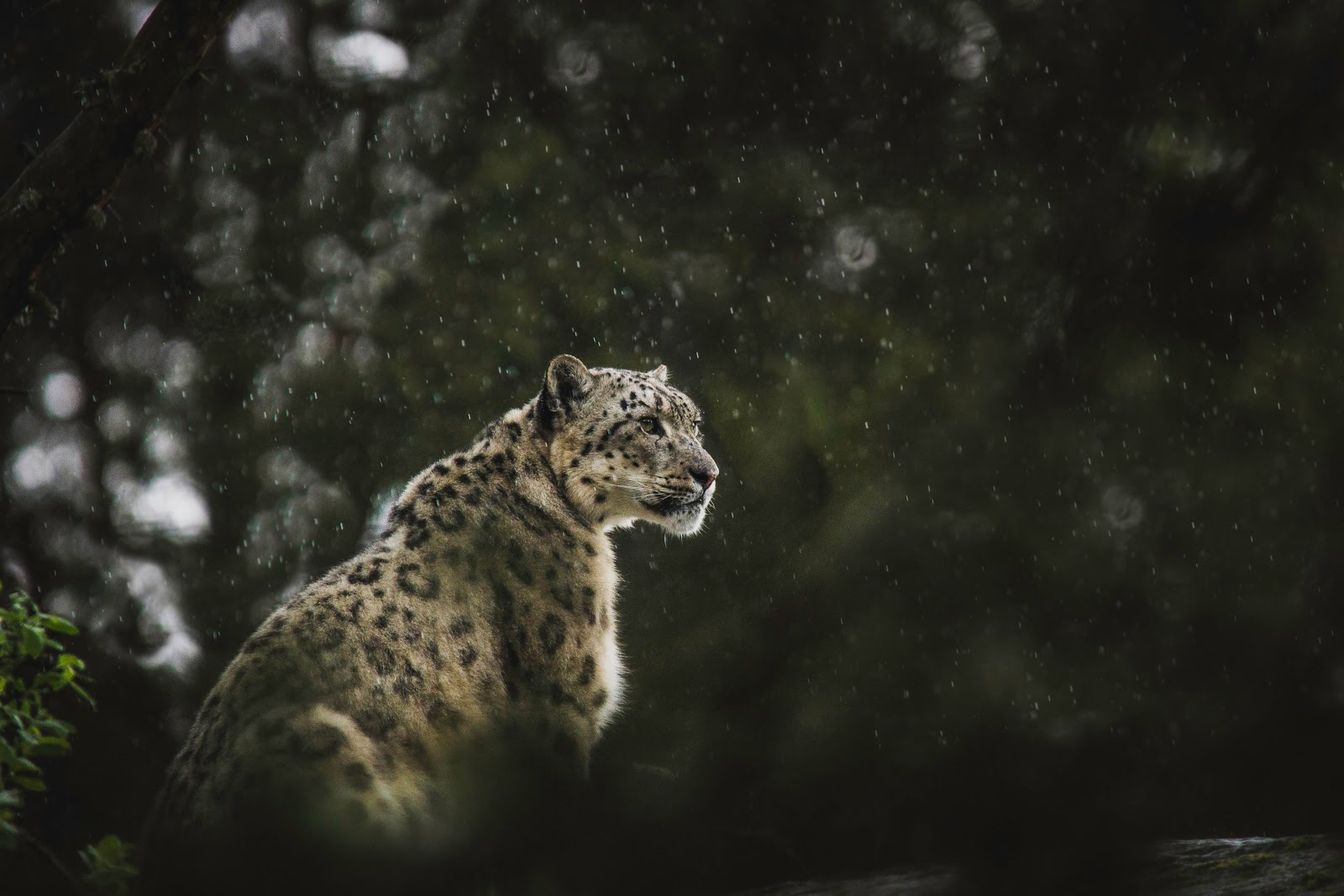 Leopard walking in the snow, partially obscured by blurred foliage in the foreground