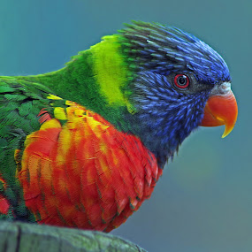 Lorikeet by Dyane Kirkland - Animals Birds ( bird, headshot, colorful, parrot, lorikeet )