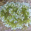 Rock-shield Lichen