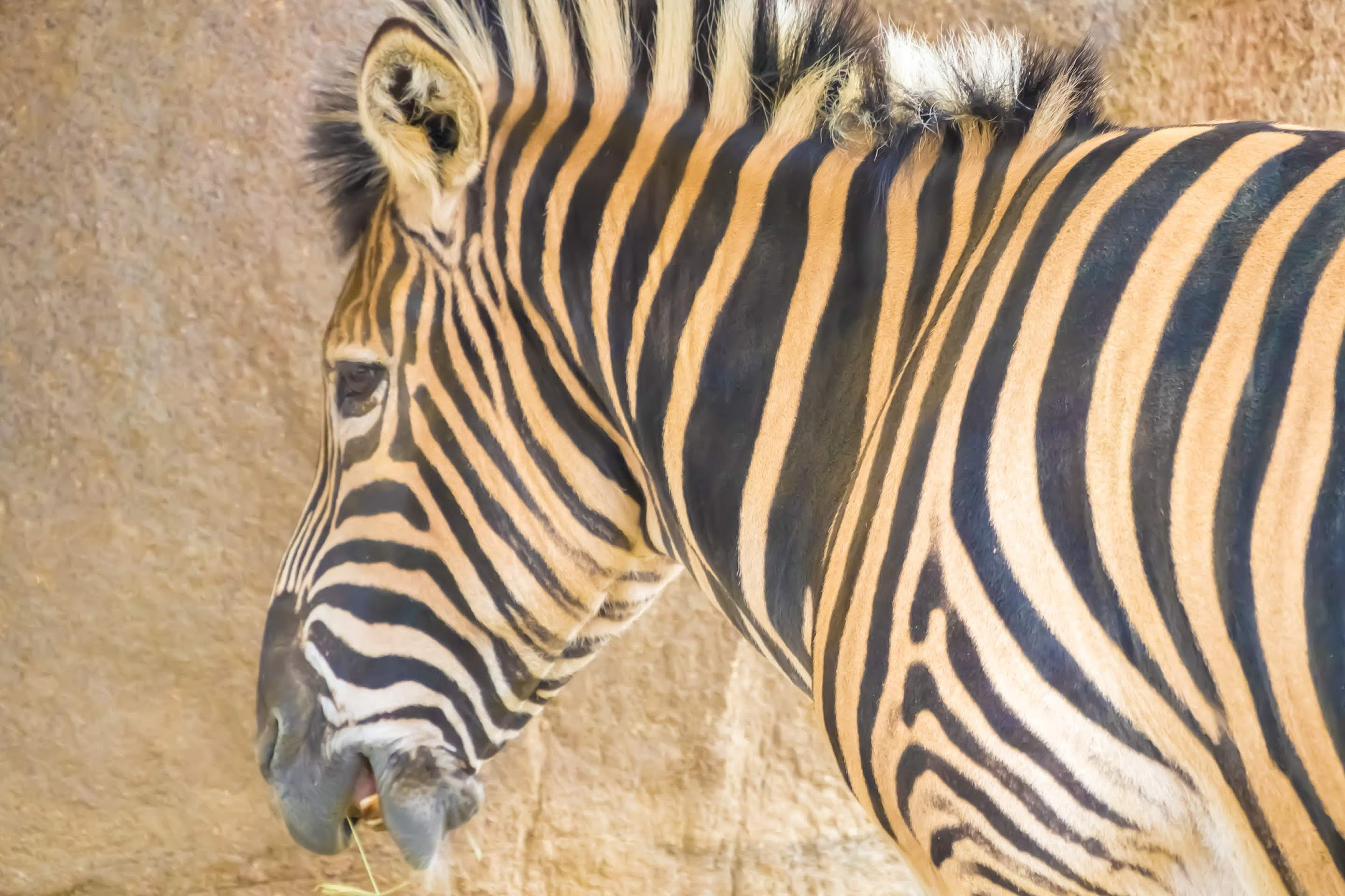 Kobe Oji Zoo zebra1