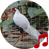 Silver Pheasant Sounds ~ Sboard.pro Android APK Download Free By Sboard.pro