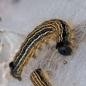 Lackey Moth Caterpillar