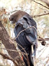Photo: Glossy Black-Cockatoo