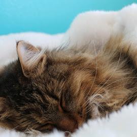 Sleepy KItty by Bethany Steadman - Animals - Cats Portraits