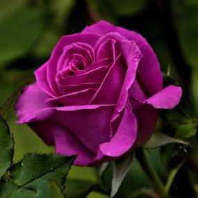 by Aaron Ytterberg - Flowers Single Flower (  )