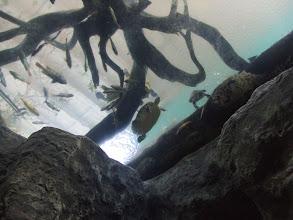 Photo: swimming turtles
